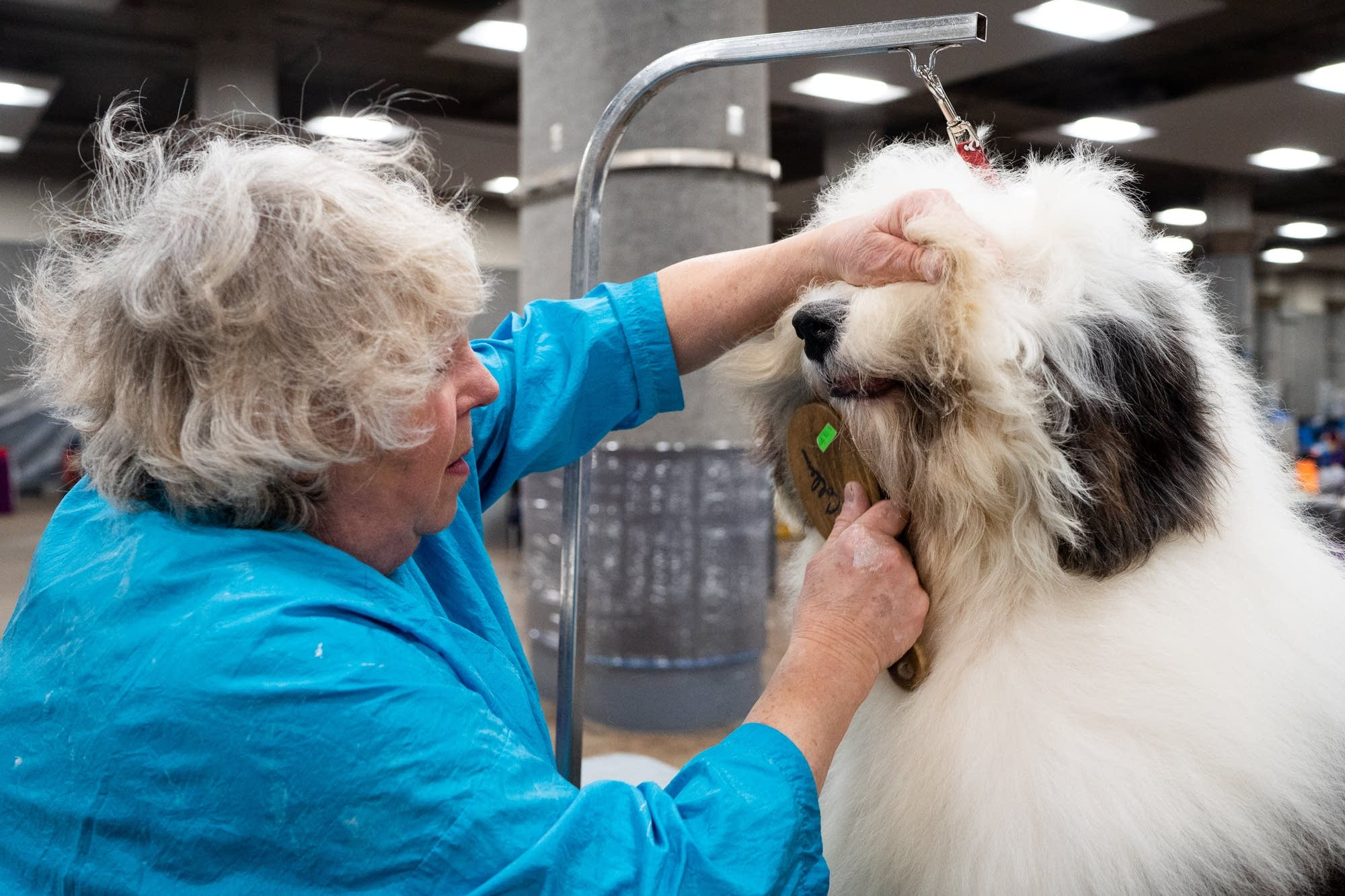 Jane Collen brushes Simon, one of her two old English Sheepdogs.