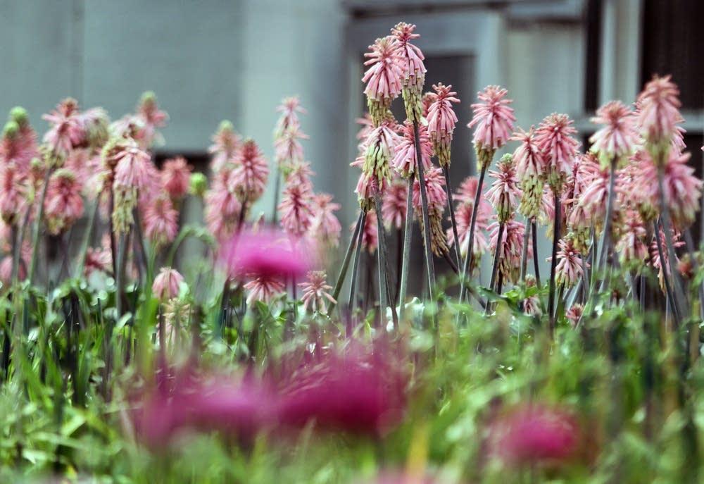 Velthemia plants