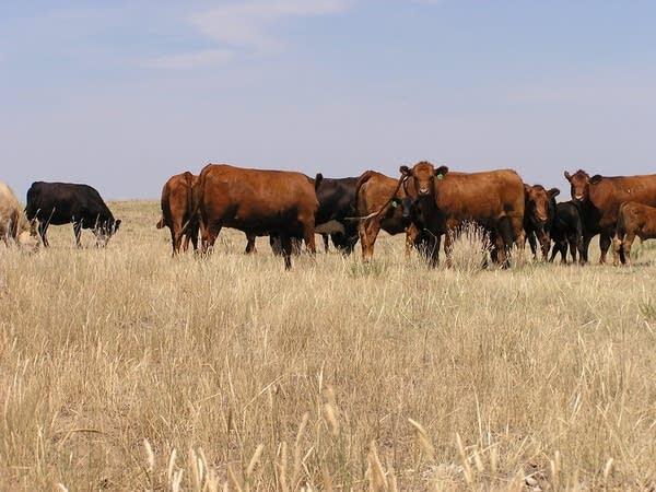 Cows graze in dead pasture