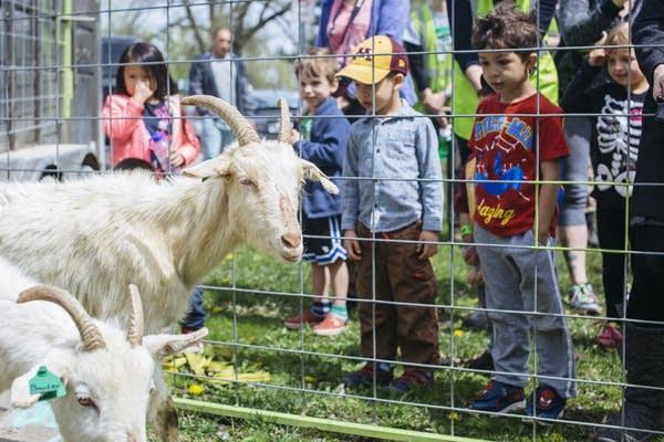 Children watch goats arrive.
