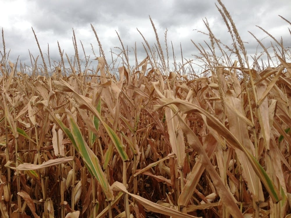 Drought-damaged corn