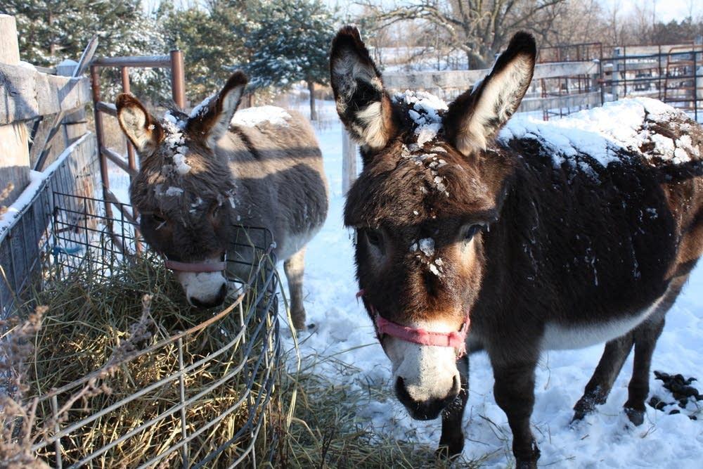 Hooper's donkeys