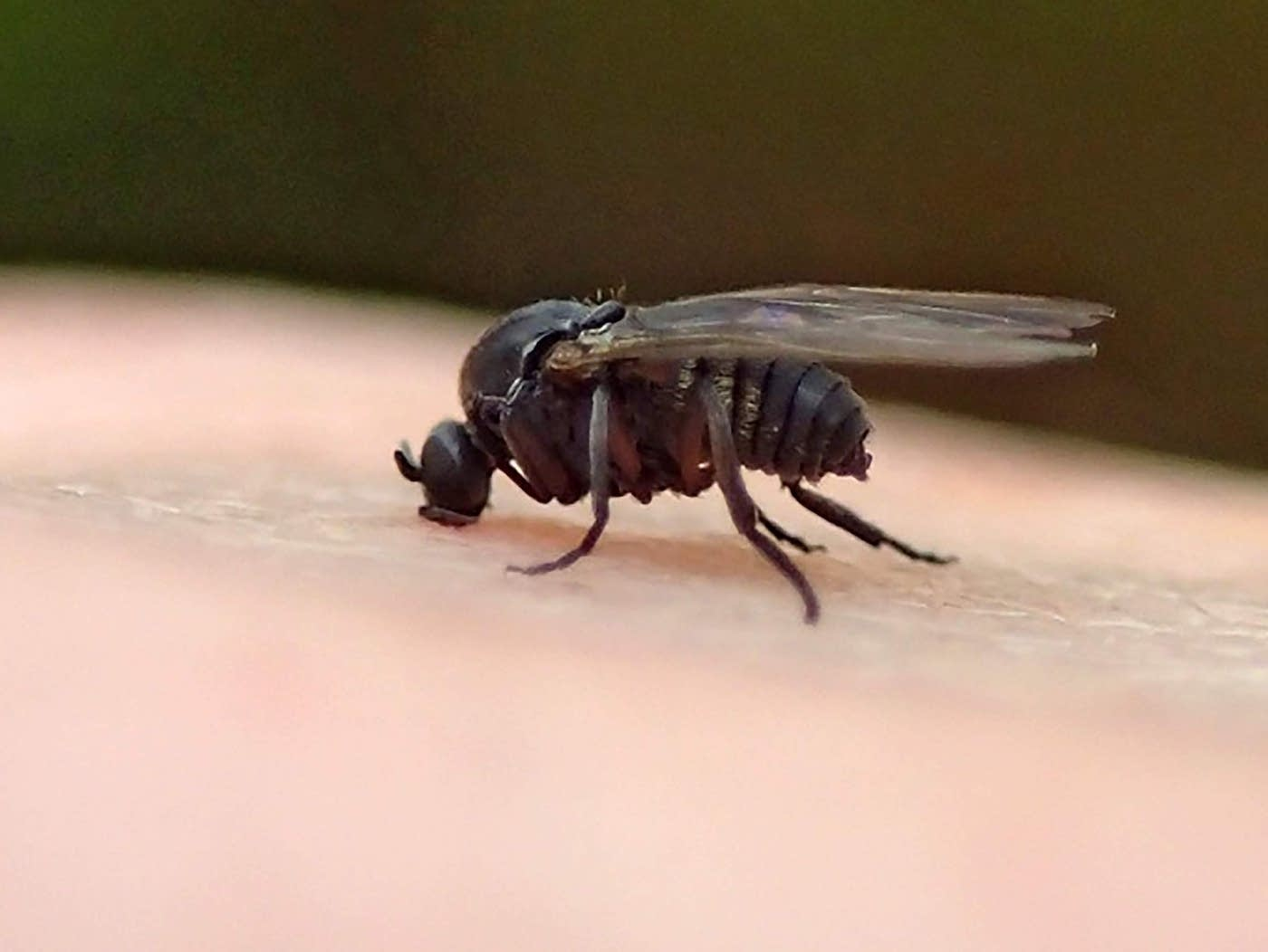 First A Pandemic And Now Biting Gnats Mpr News