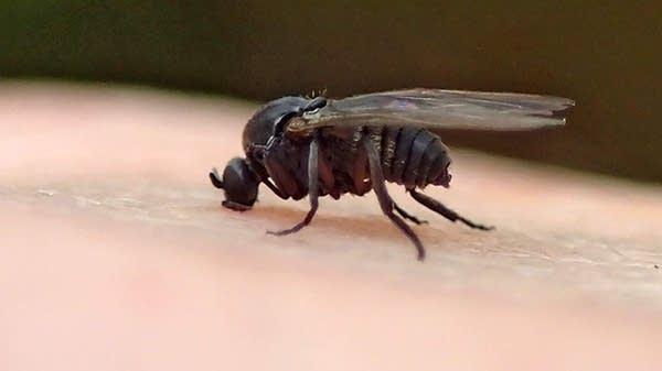 A close-up of a gnat.