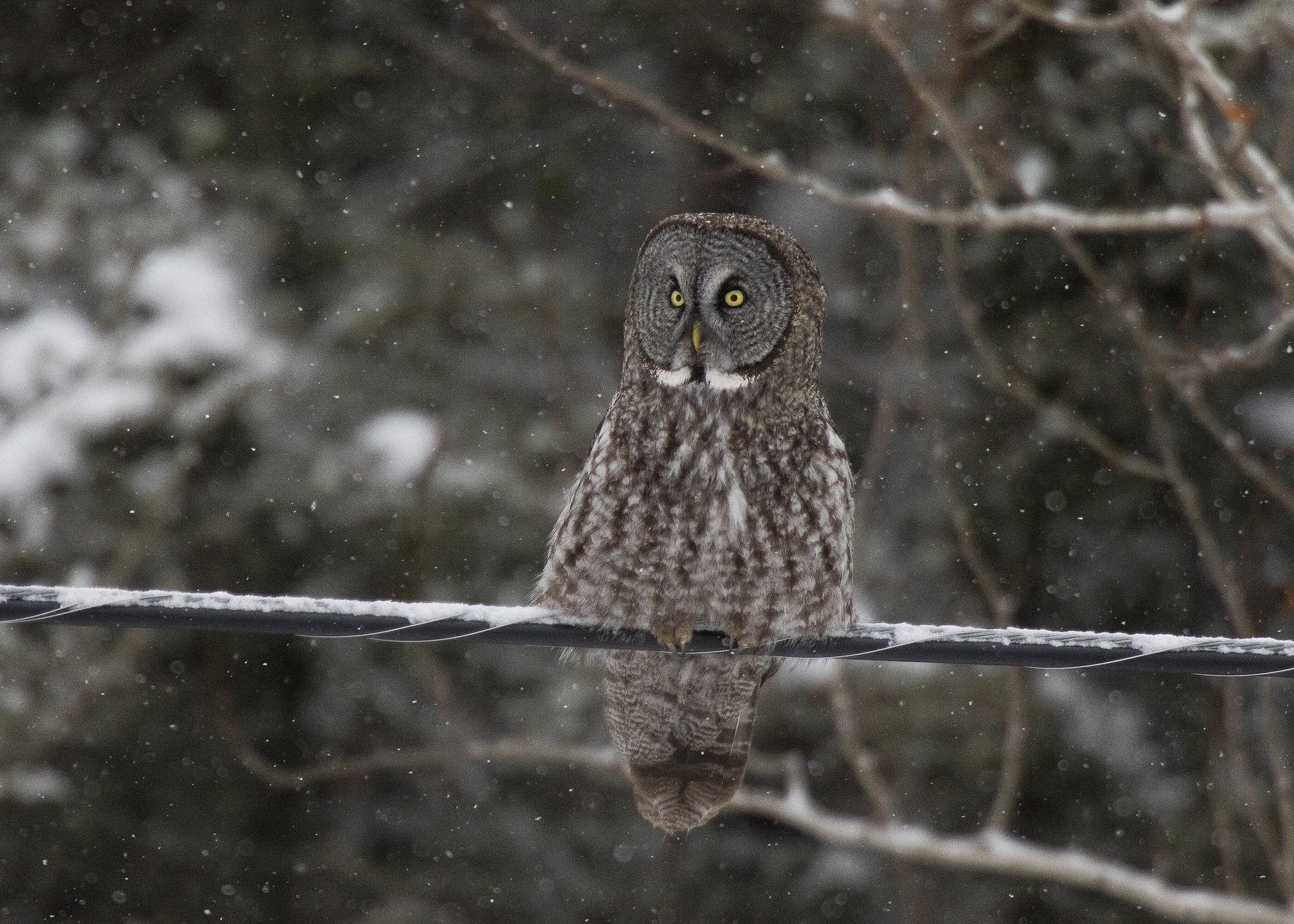 A great gray owl rests on a power line while hunting.