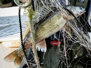 The walleye population is of great concern to the surrounding communities.