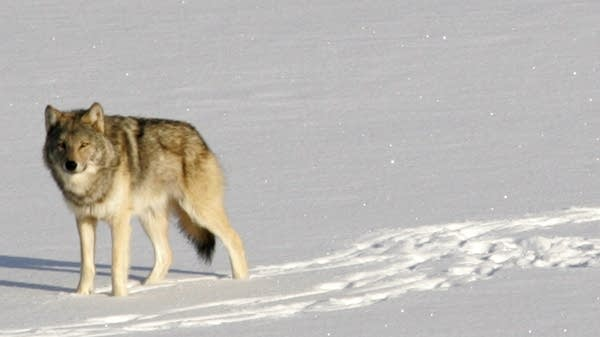 Fight Over Wolf Hunting In Minnesota Is Heating Up Again Mpr News