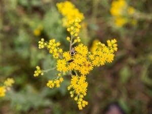 Pollinators on wildflower