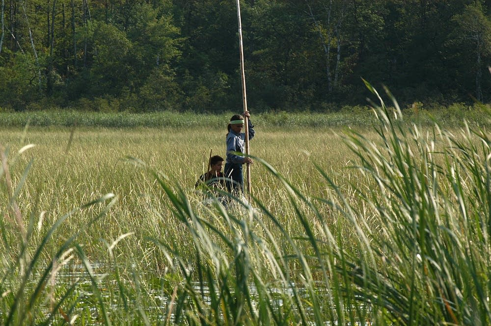 Harvesting wild rice in Hole-in-the-Day Lake.