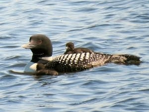 loon family near collegeville