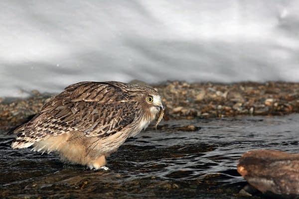 Blakiston's fish owl