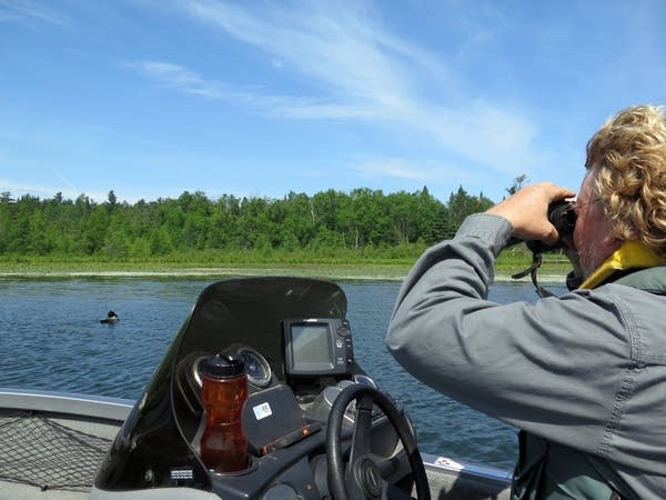 DNR nongame biologist Kevin Woizeschke searches for tagged loons.