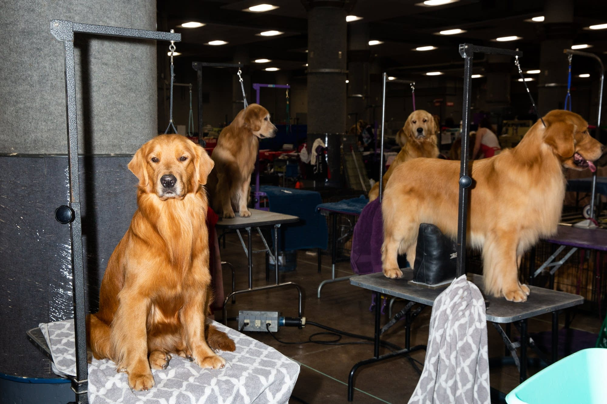 A crew of golden retrievers sit on their grooming tables.